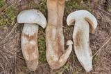 Boletus albisulphureus image