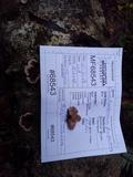 Chondrostereum purpureum image