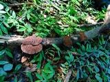 Hexagonia glabra image