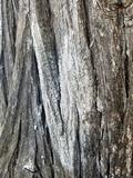 Topelia californica image