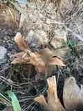 Calvatia pachyderma image