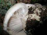 Hygrophorus subalpinus image