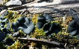 Plicaria carbonaria image