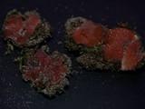Image of Lamprospora polytrichi