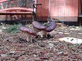 Russula maxima image