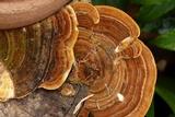 Funalia polyzona image