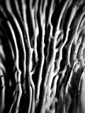 Cantharellus subalbidus image