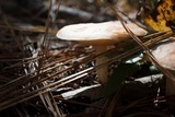 Rhodocollybia maculata image