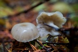 Clitocybe fragrans image