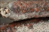 Eutypella quaternata image