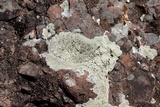 Lecanora argopholis image