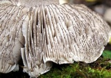 Tricholoma pullum image