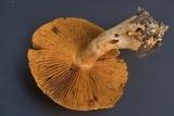Cortinarius rubellus image