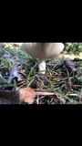 Russula crustosa image