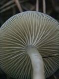 Gamundia striatula image