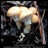 Suillus cothurnatus image