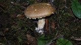 Stropharia kauffmanii image