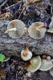 Pholiota polychroa image
