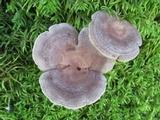 Lactarius mammosus image