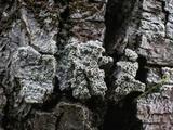 Lecanora hybocarpa image