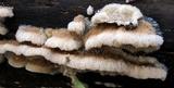 Trametopsis cervina image