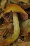 Cortinarius corrugatus image
