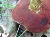 Boletus frostii image