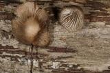 Mycena abramsii image