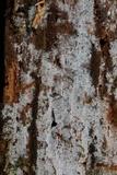 Botryobasidium candicans image