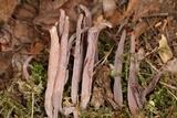 Alloclavaria purpurea image