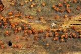 Trichia botrytis image