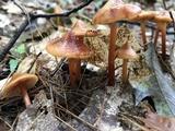 Phaeocollybia christinae image