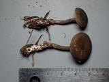 Rhodocybe aureicystidiata image