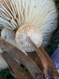 Flammulina velutipes var. lupinicola image
