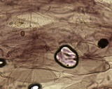 Mycena fragillima image