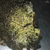 Image of Caloplaca xanthostigmoidea