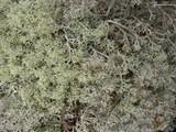 Cladina arbuscula image