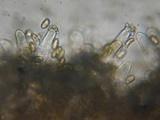 Inocybe flocculosa image