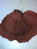 Earliella scabrosa image