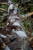 Auricularia americana image