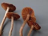 Cortinarius fulvescens image
