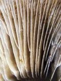 Hemipholiota populnea image