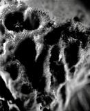 Erastia salmonicolor image