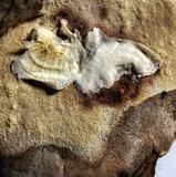 Sporophagomyces chrysostomus image