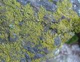 Caloplaca citrina image