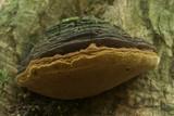 Fulvifomes krugiodendri image