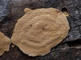 Perenniporia tenuis image