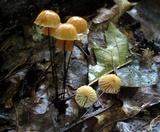Marasmius siccus image