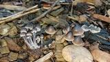 Mycena leptocephala image