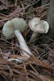 Tricholoma argenteum image